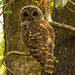 Barred Owl Up Close!