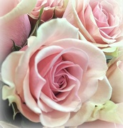 23rd Apr 2018 - Pretty PINK Roses