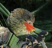 24th Apr 2018 - New Zealand mountain parrot - kea - preening