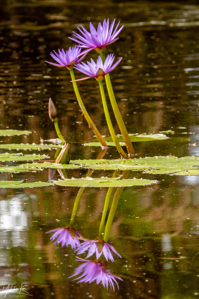Lily Reflections by yorkshirekiwi
