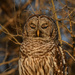 Sleepy-eyed Barred Owl