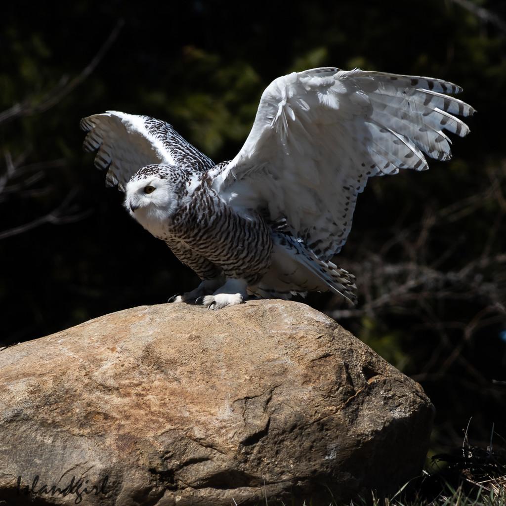 Snowy Owl taking Flight by radiogirl