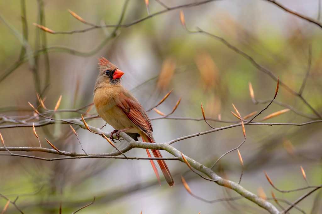 mrs. cardinal in the park by jernst1779