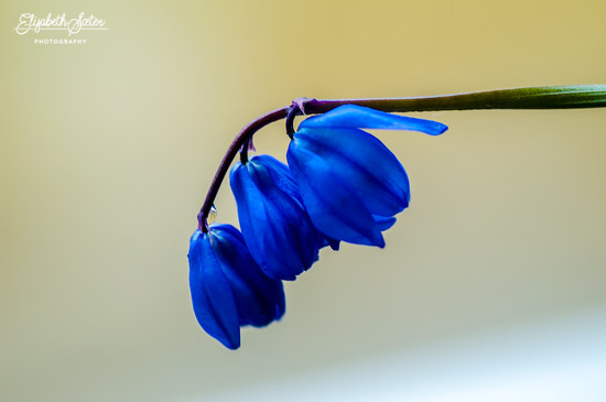 Small blue flower by elisasaeter
