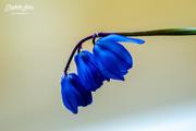 24th Apr 2018 - Small blue flower