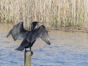 24th Apr 2018 - A Cormorant On A Post