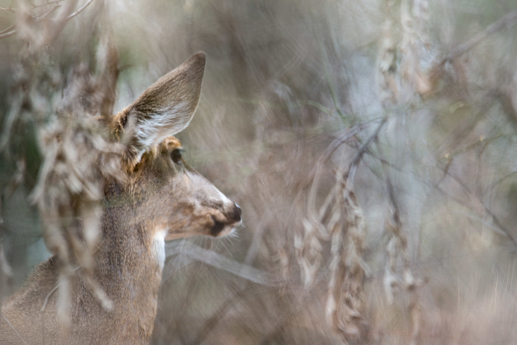 Deer Deep in Thought by taffy