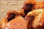 24th Apr 2018 - Three Chickens