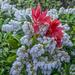 Pieris Flowers by tonygig