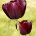 Extras:  Black Tulips