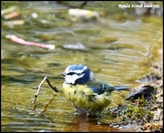 25th Apr 2018 - Bathing blue tit