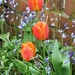 Tulips  by beryl