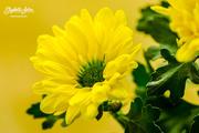 25th Apr 2018 - Yellow Chrysanthemum