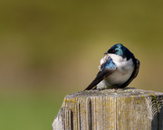 25th Apr 2018 - Tree Swallow with an Itch