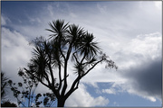 21st Apr 2018 - Cabbage Tree Silhouette
