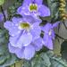 A Blue Trumpet vine ... by ludwigsdiana