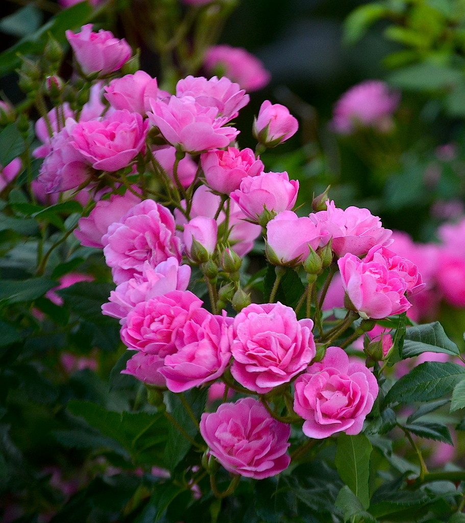 Roses by congaree