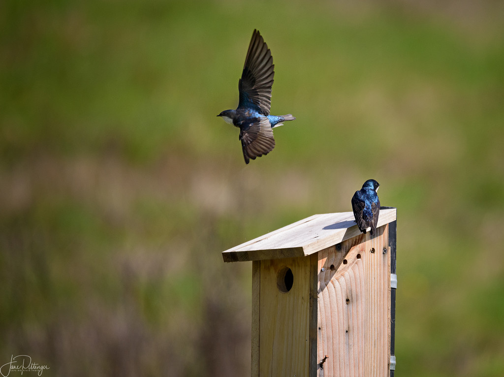 Swallows Thinking About Having a Family  by jgpittenger