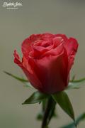 26th Apr 2018 - A rose