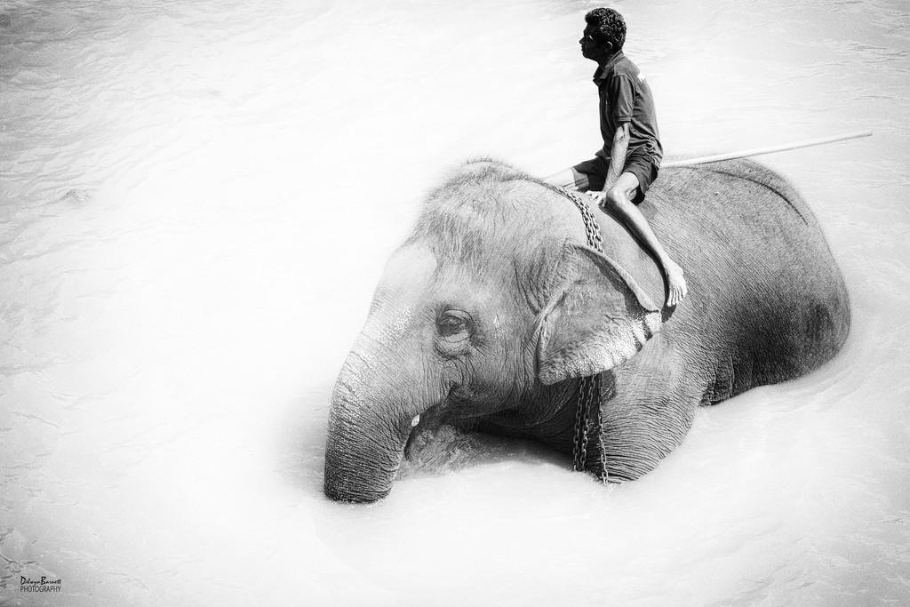 Elephant in the river by dkbarnett