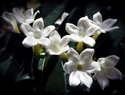 26th Apr 2018 - Stephanotis