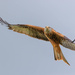 Red Kite-really really close by padlock