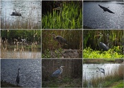 20th Aug 2015 - A morning with the Heron