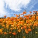 Poppy Field by joysfocus
