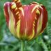 Tulip by joysfocus