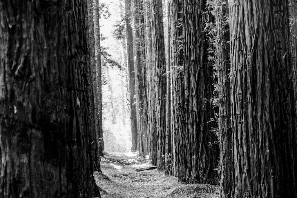 Redwood forest in the Dandenongs. Victoria by hrs