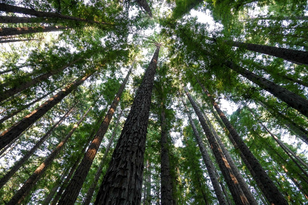 Looking up in the redwood forest  by hrs