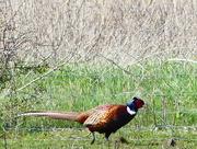 26th Apr 2018 - A Pheasant