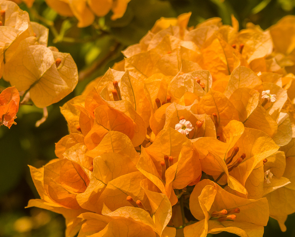 (Day 70) - California Gold by cjphoto