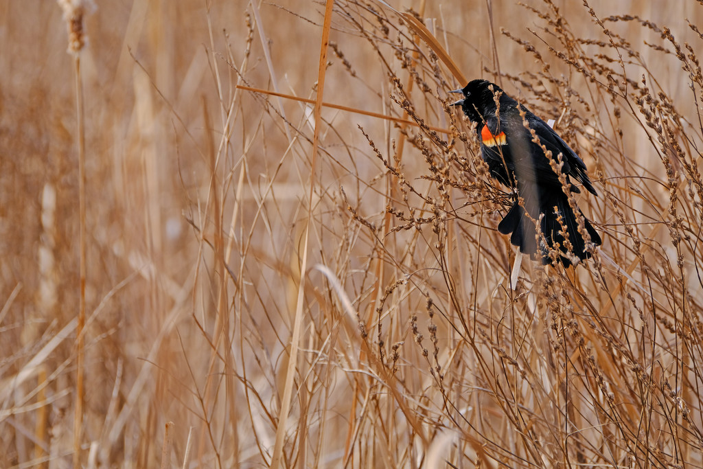 Red-Winged Blackbird  by tosee