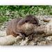 Otter,Conwy Water Park by carolmw