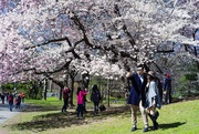 5th Apr 2018 - Hanami in New York - export collection