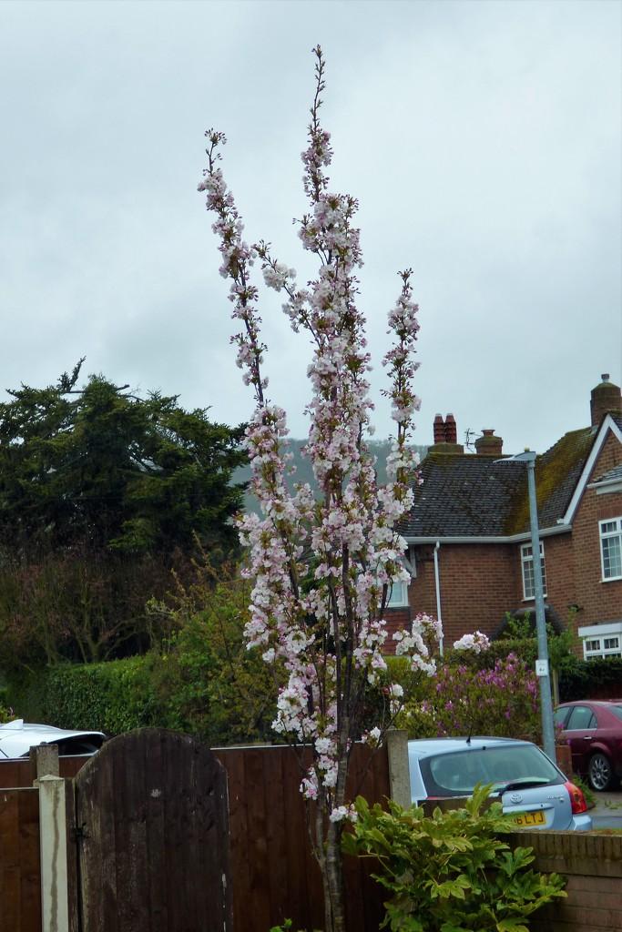 My flowering cherry  by beryl