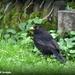 One of my little blackbirds