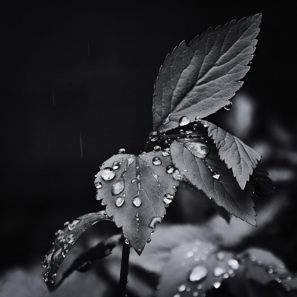 Rain on leaves. by gamelee