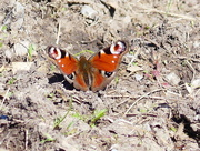 27th Apr 2018 - A Peacock Butterfly