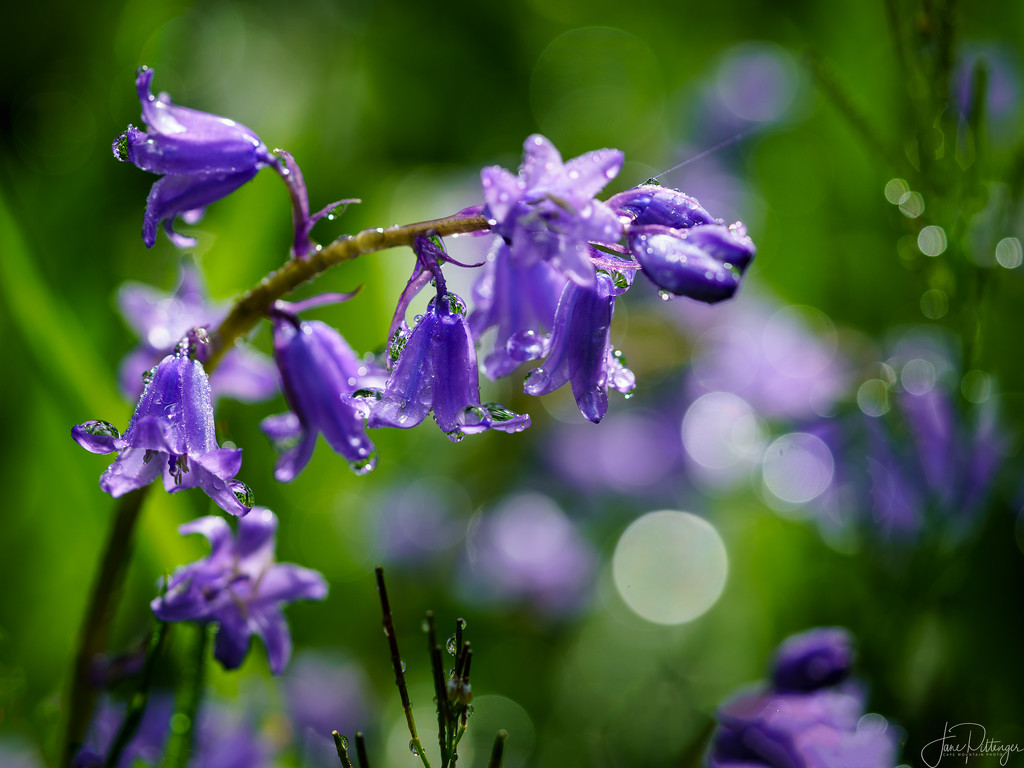 Raindrops on Mountain Hyacinths  by jgpittenger