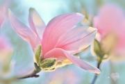 27th Apr 2018 - Magnolia Magic