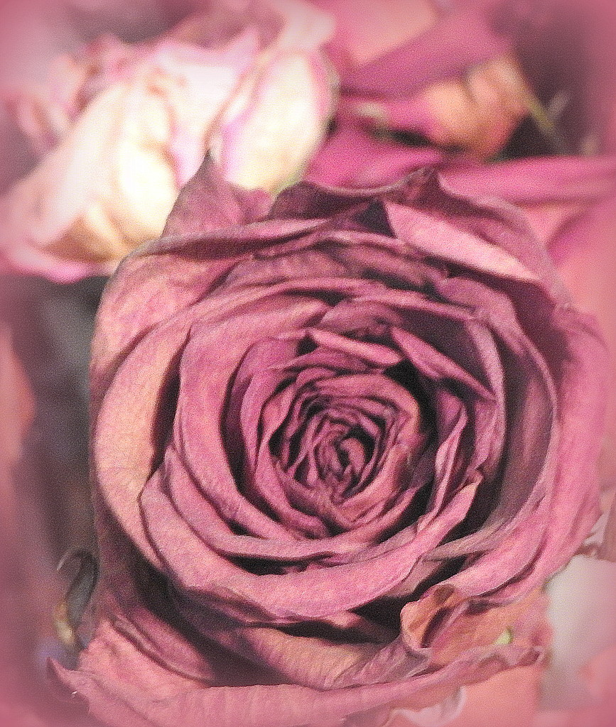 PINK dried roses by homeschoolmom