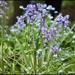 Bluebells in my garden by rosiekind