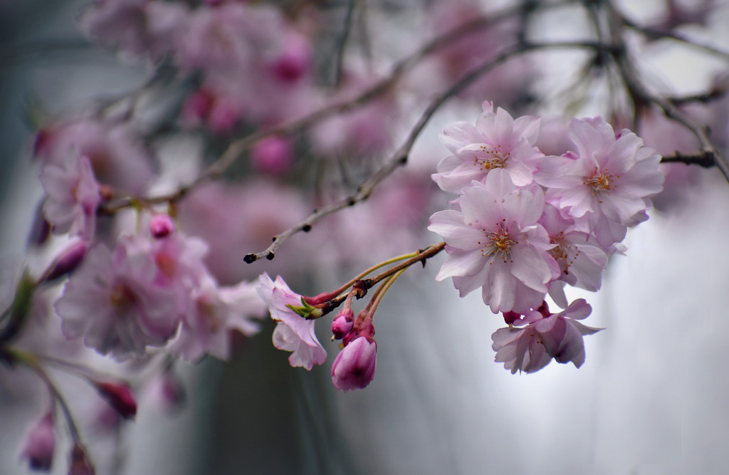 A Whisper of Pink by alophoto