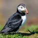 Puffin looking a bit lonesome. by padlock