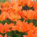 Pretty orange tulips by mittens