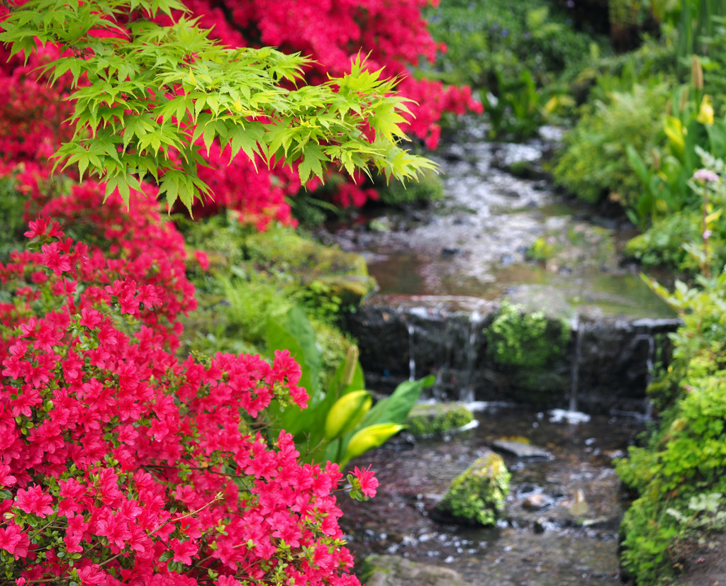 Acer and azaleas by suesmith
