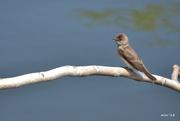 28th Apr 2018 - Brown Swallow