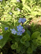 25th Apr 2018 - Forget me not